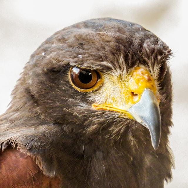 """Eagle, Hawk in Trasmoz, Aragon Spain"" stock image"