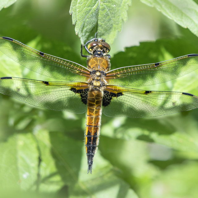 """Four Spotted Chaser Dragonfly"" stock image"