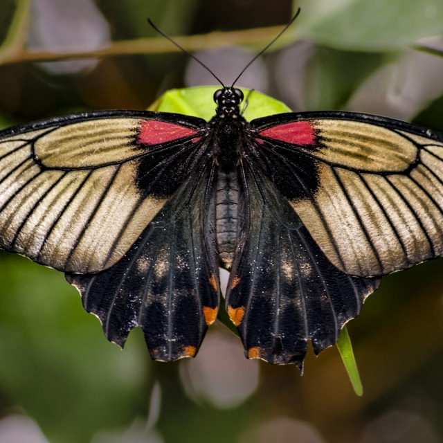 """Great Mormon Butterfly (Papilio memnon)"" stock image"