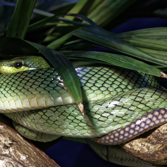 """Red-tailed Green Ratsnake 2"" stock image"