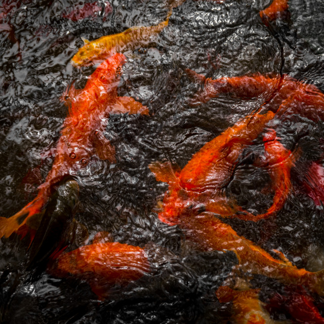 """""""Goldfish in the pond"""" stock image"""