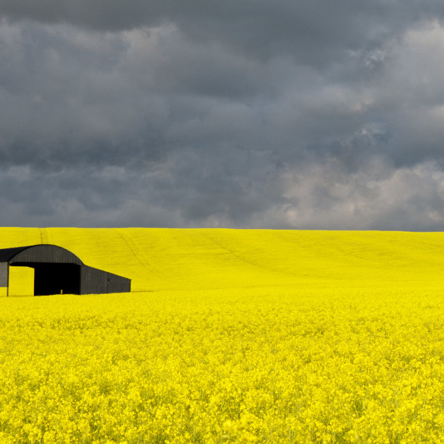 """Dark Sky over rape seed field"" stock image"