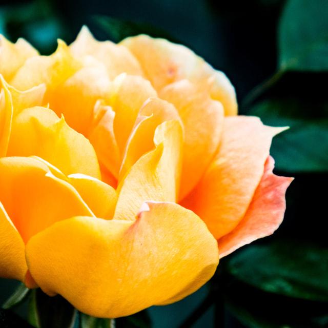 """""""Garden Rose"""" stock image"""
