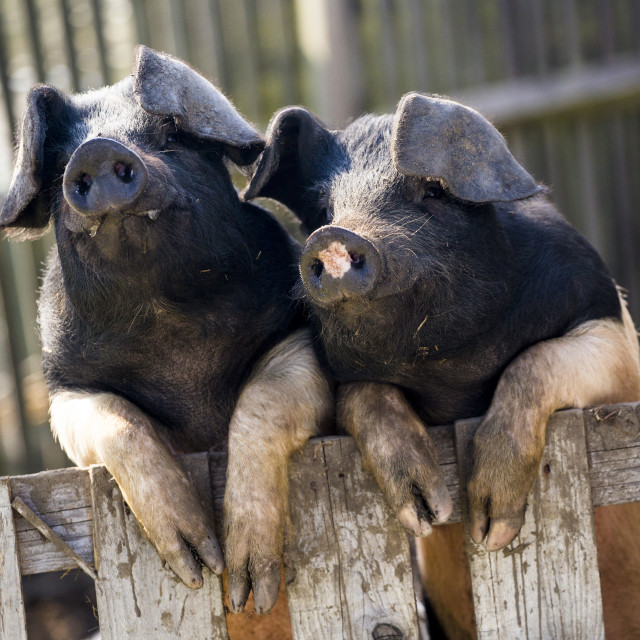 """Saddleback pigs"" stock image"