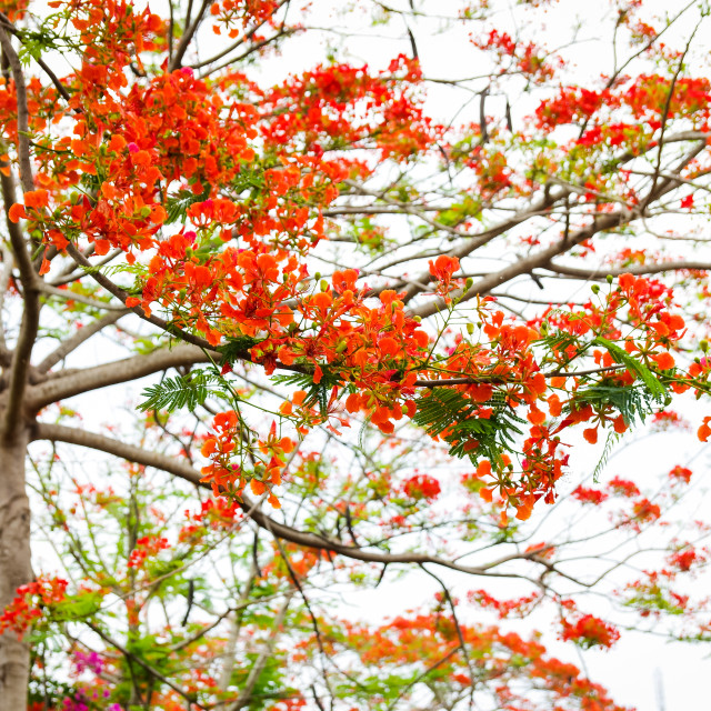 """""""Flamboyant flowers tree with bright background"""" stock image"""