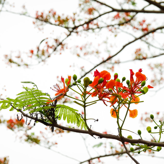 """""""Flamboyant flowers with bright background"""" stock image"""