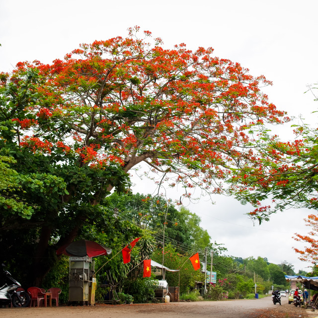 """""""Flamboyant flowers tree on countryside road"""" stock image"""