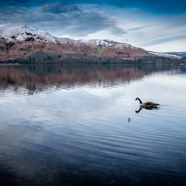 """A Canadian Goose glides across Derwent Water"" stock image"