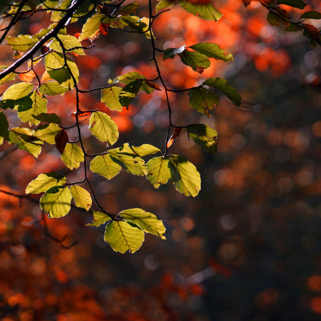 """""""Colorful leaves in autumn"""" stock image"""