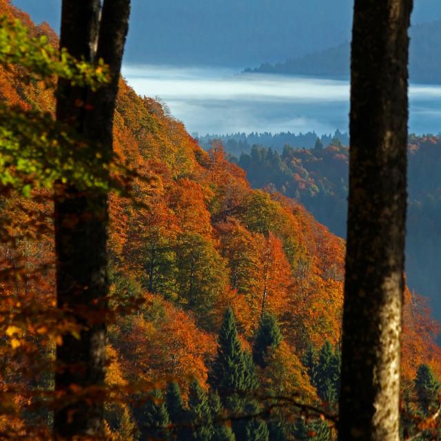 """Beech trees in autumn"" stock image"