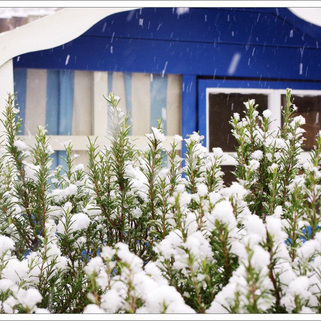 """Blue Shed with Snow topped Lavender Bush"" stock image"