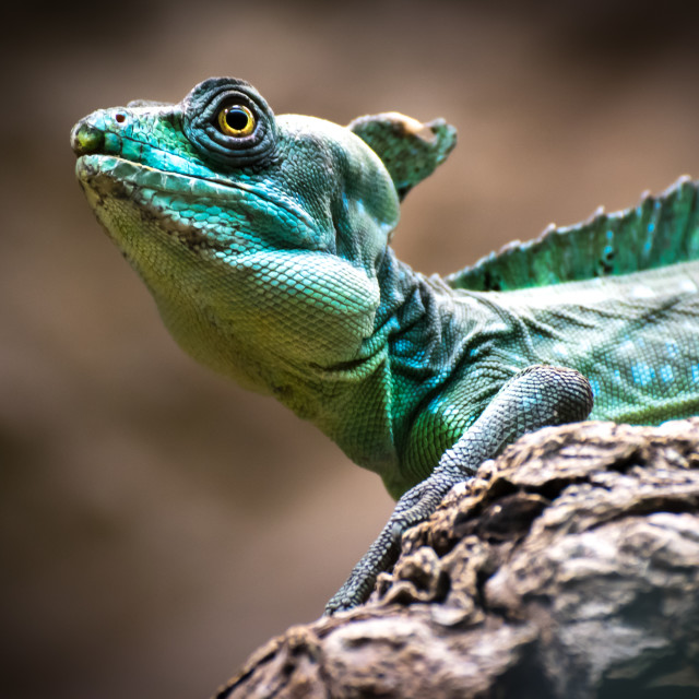 """""""Detail of the head of a Green basilisk (Basiliscus plumifrons)"""" stock image"""