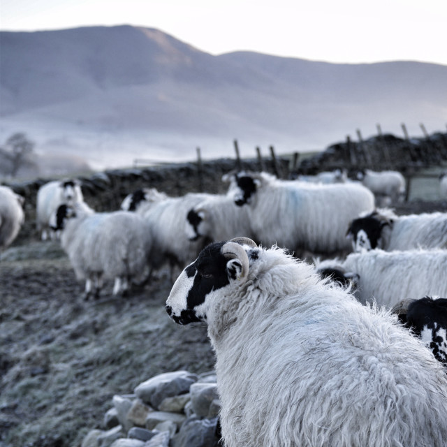 """""""Rough Fell sheep in Cumbria"""" stock image"""