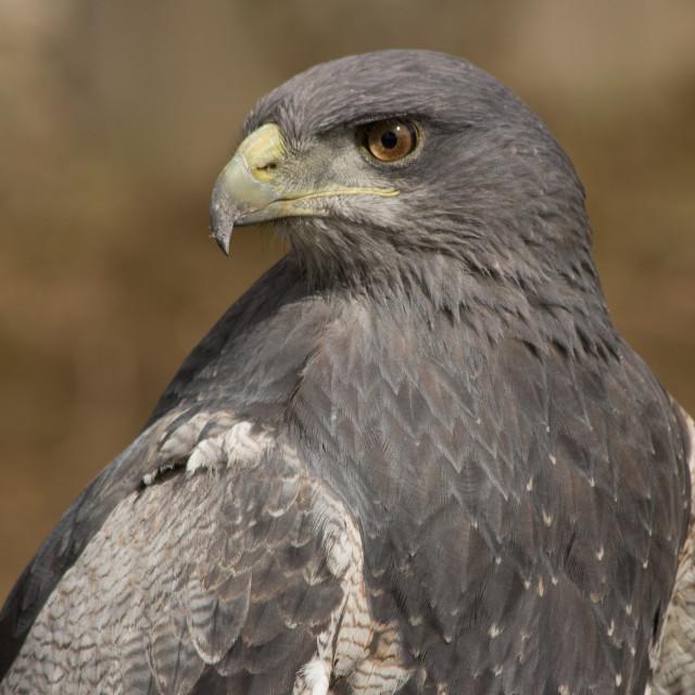 """Black-Chested Buzzard-Eagle"" stock image"