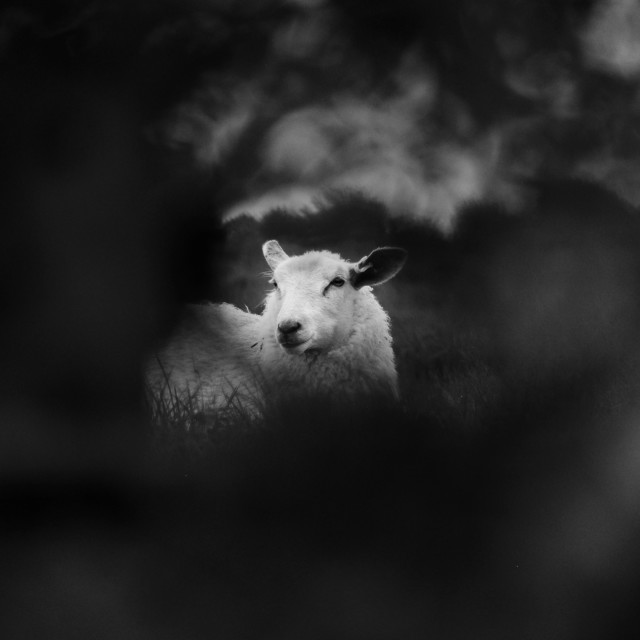 """Sheep watching you"" stock image"