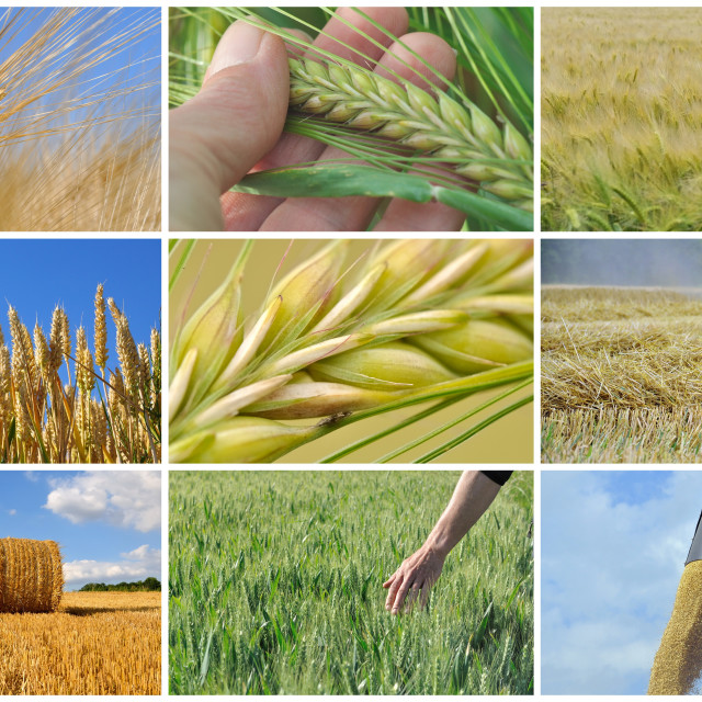 """""""harvest of wheat - collage"""" stock image"""