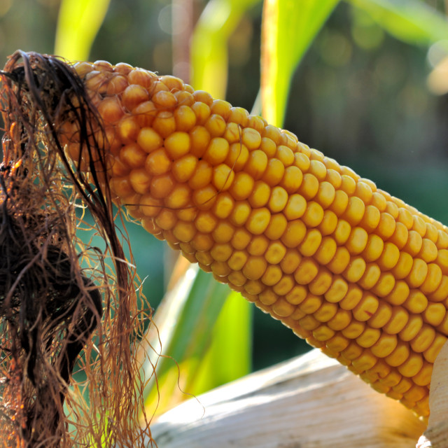 """close on ripe corn on the cob in a field"" stock image"