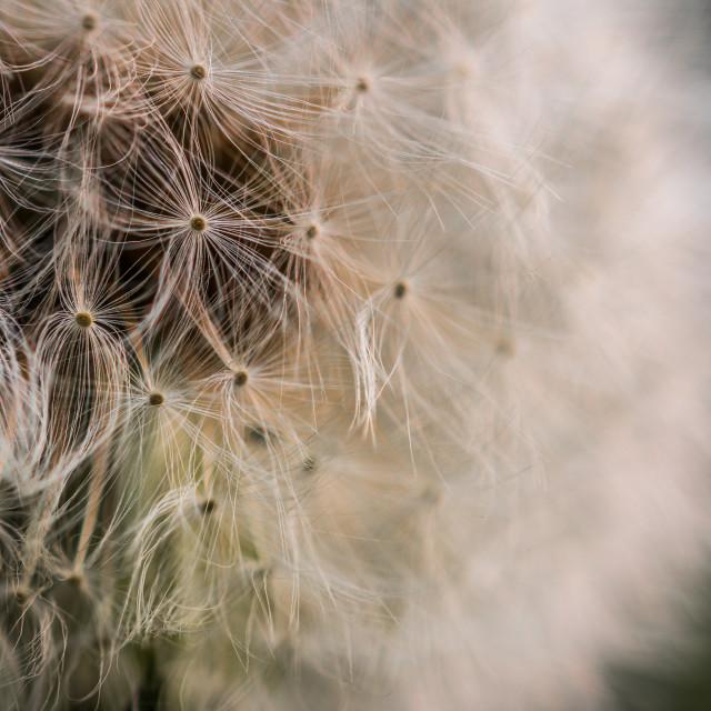 """""""Dandelion Macro"""" stock image"""