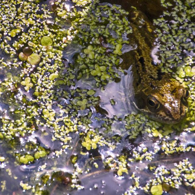 """""""Frog Eyed"""" stock image"""