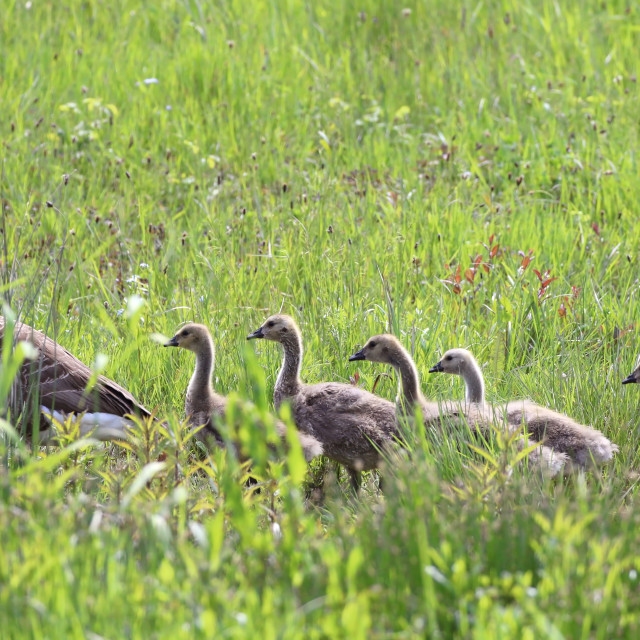 """Canada Geese and Goslings"" stock image"