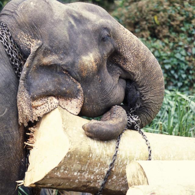 """""""SRI LANKA NUWARA ELIYA ELEPHANT WORKING"""" stock image"""