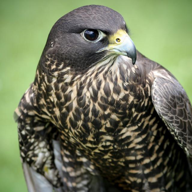 """Gyr Peregrine Falcon"" stock image"
