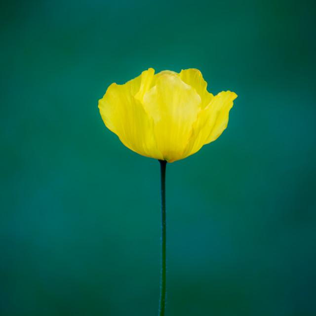 """""""One Poppy"""" stock image"""