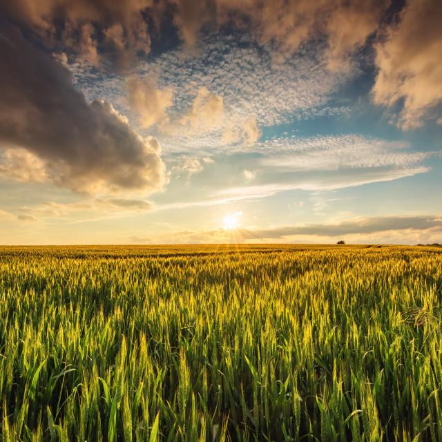 """""""Green wheat field , sunset shot"""" stock image"""