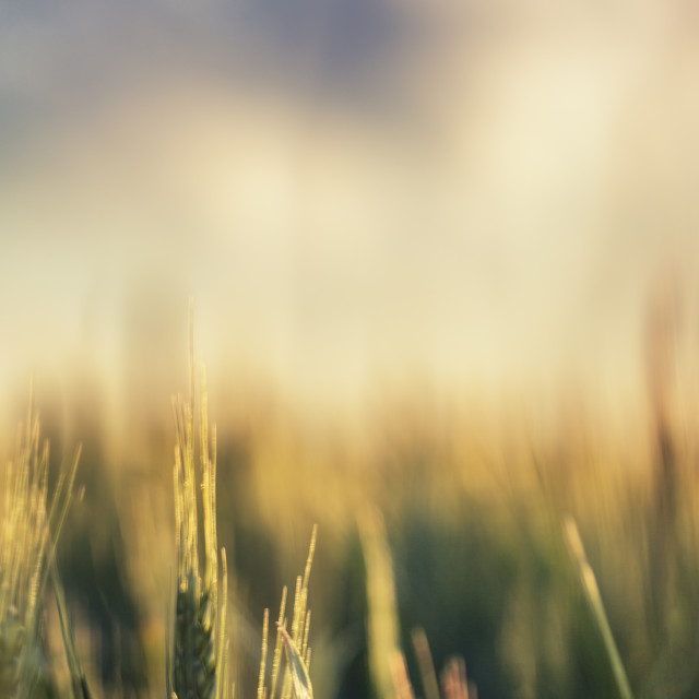 """Green wheat field and sunny day"" stock image"