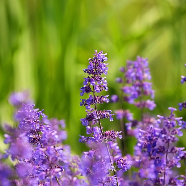 """""""Violet lavender"""" stock image"""