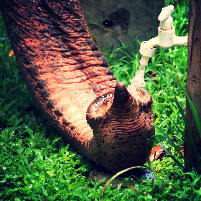 """""""Elephant drinking from a tap"""" stock image"""