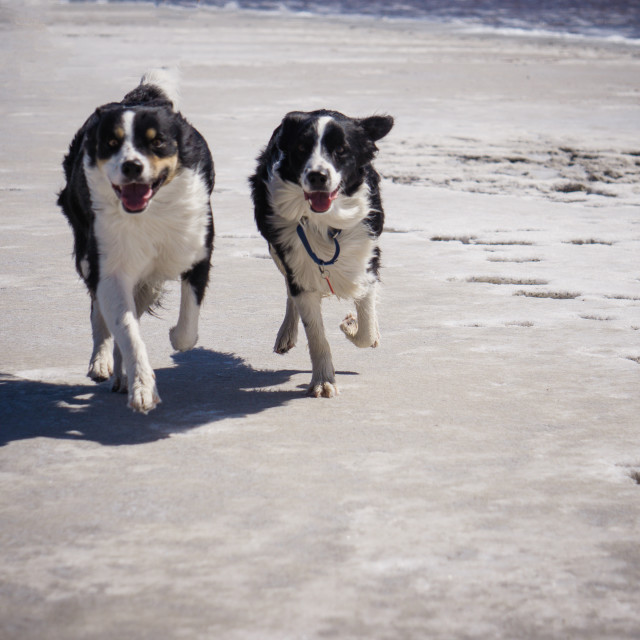 """""""Two border collies play on the salt flats on the shore of the Great Salt Lake, Utah"""" stock image"""