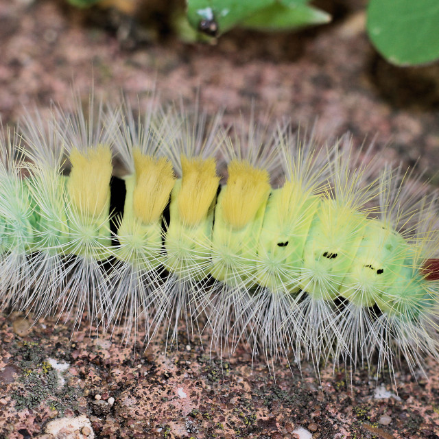 """Pale Tussock Moth Caterpiller"" stock image"