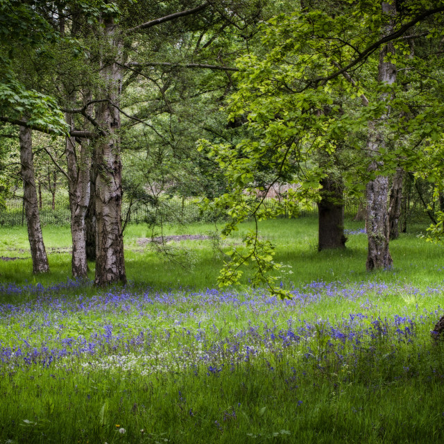 """Bluebells between the trees"" stock image"