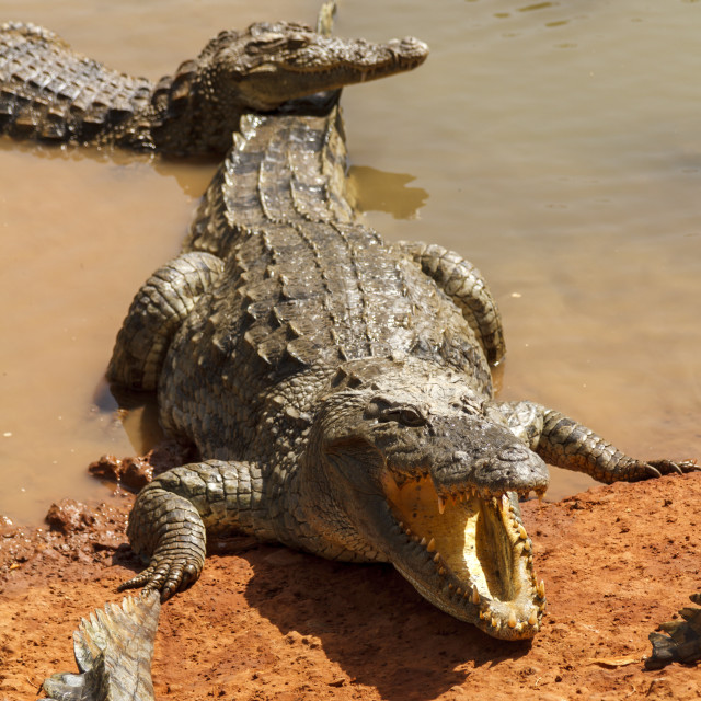 """Alligators waiting in the hot African sun on the waters edge."" stock image"