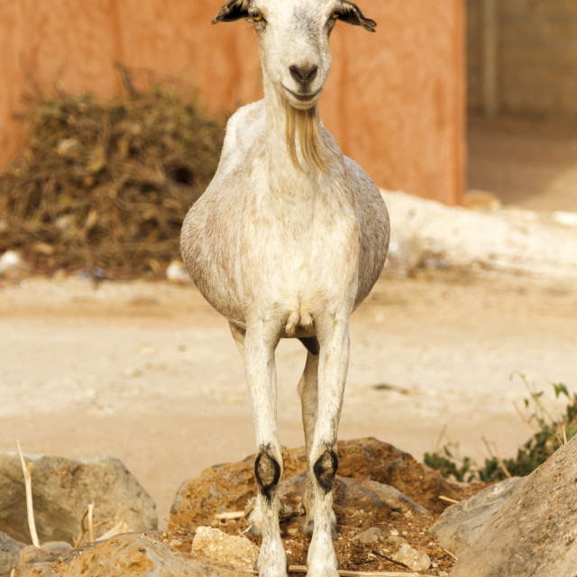 """Single bearded goat staring standing on some rocks in the hot sun."" stock image"
