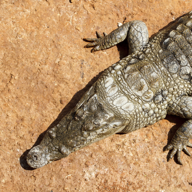 """Alligator from a bove in the hot African sun."" stock image"