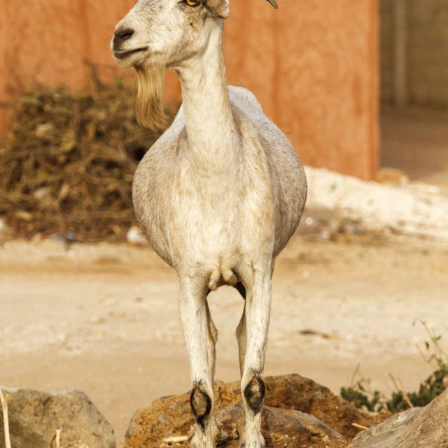 """Single bearded goat standing on some rocks in the hot sun."" stock image"