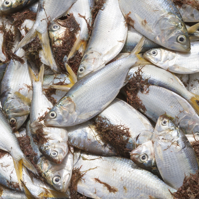 """Freshly caught yellowtail fish in a pile on the beach."" stock image"