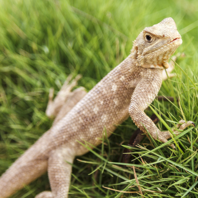 """Single Mimetism lizard in long lush green grass."" stock image"