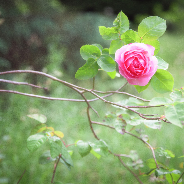 """English Rose"" stock image"