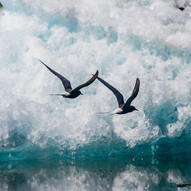 """Arctic Terns Over Jökulsárlón, Iceland"" stock image"