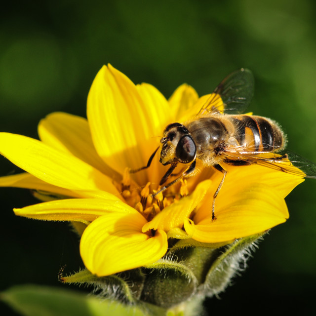 """A Bee at Work"" stock image"