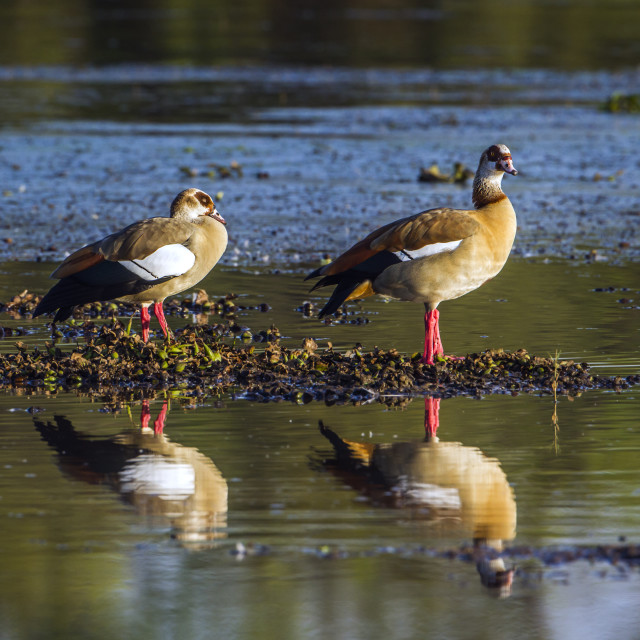 """egyptian goose in Kruger national park, South Africa"" stock image"
