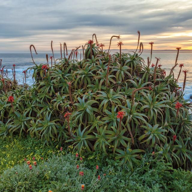 """Coastal Aloes 1"" stock image"