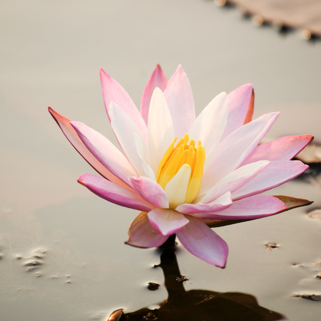 """""""Lotus in a pond"""" stock image"""