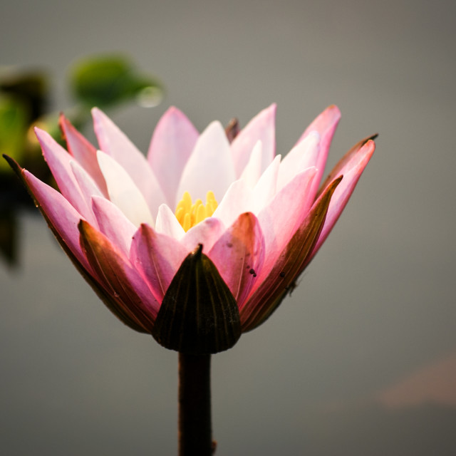 """Lotus flower (water lily)"" stock image"
