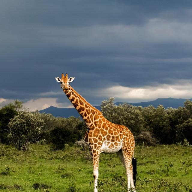 """A Giraffe in Amboselli , Kenya"" stock image"