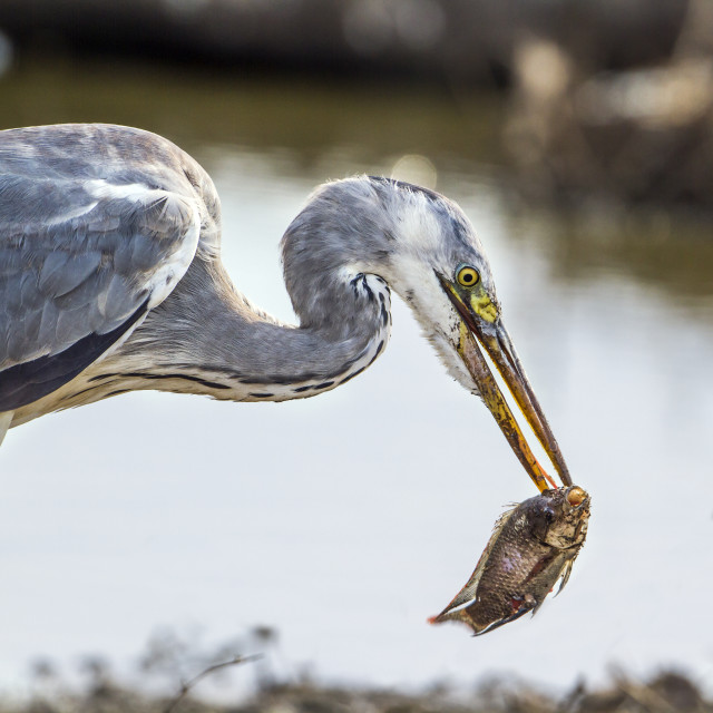 """Grey heron in Kruger national park, South Africa"" stock image"