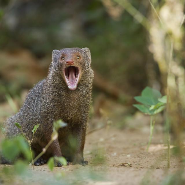 """Indian gray mongoose in Minneriya national park, Sri Lanka"" stock image"